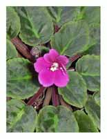 African Violet Note Cards