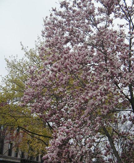 Magnolias in the City