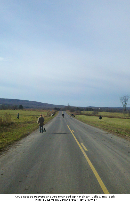 Cows Escape Pasture and are Rounded Up - Mohawk Valley, NY Photo by Lorraine Lewandrowski @NYFarmer